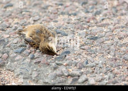 Dead Sedge Warbler (Acrocephalus schoenobaenus) in road - Stock Photo