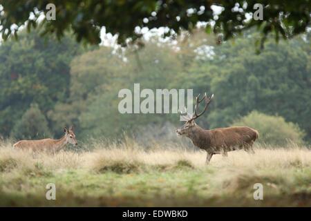 Pair of Red Deers (Cervus elaphus) in mating season, Europe - Stock Photo