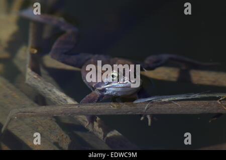 Moor frog (Rana arvalis) in spring. - Stock Photo