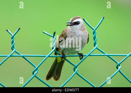 Yellow-vented bulbul on a wire fence - Stock Photo