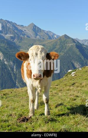 Cow on alpine pasture, Tux alps, Tyrol, Austria - Stock Photo