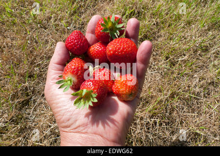 A hand with a handful of fresh ripe strawberries in summer Wales, Britain, UK  KATHY DEWITT - Stock Photo