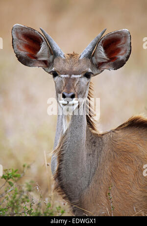 young Greater Kudu in South Africa, Tragelaphus strepsiceros - Stock Photo