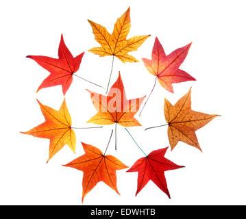 Autumn leaves, collage, Liquid amber leaves, (Liquidambar styraciflua), - Stock Photo