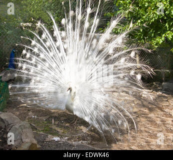 White peafowl (Pavo Cristatus), lives in India. - Stock Photo