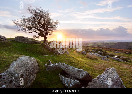 Lone Hawthorn tree on Ingra Tor at sunset Dartmoor National Park Devon Uk - Stock Photo