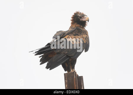 Wedge-tailed Eagle, Aquila audax, South Australia - Stock Photo