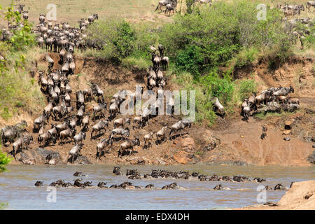 Migratory blue wildebeest (Connochaetes taurinus) crossing the Mara river, Masai Mara National Reserve, Kenya - Stock Photo
