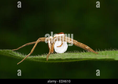 Dolomedes female with egg sac.  Dolomedes is a genus of large spiders of the family Pisauridae. They are also known - Stock Photo