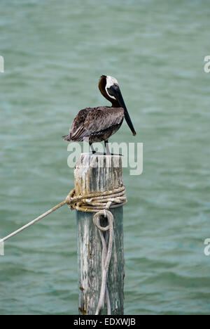 Pelikan on a wood  in the sea - Stock Photo