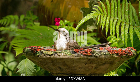Australian Grey-crowned babbler, Pomatostomus temporalis, in water of ornate birdbath against background of ferns - Stock Photo
