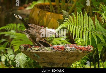 Australian Grey-crowned babbler, Pomatostomus temporalis, on edge of ornate birdbath against background of ferns - Stock Photo