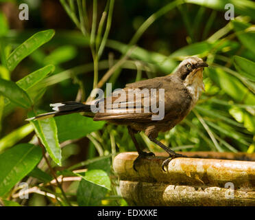 Australian Grey-crowned babbler, Pomatostomus temporalis, on edge of birdbath on hot summer's day, against background - Stock Photo