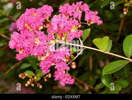 Cluster of vivid pink flowers & buds of Lagerstroemia indica, Crepe myrtle, on stem with deep green leaves - Stock Photo