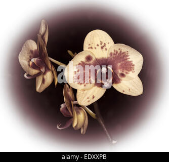 Spectacular flower of Phalaenopsis / Moth orchid in sepia tones of brown and white against dark brown background - Stock Photo