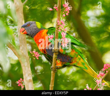 Brightly coloured rainbow lorikeet, Australian parrot in the wild among clusters of pink flowers of native corkwood - Stock Photo