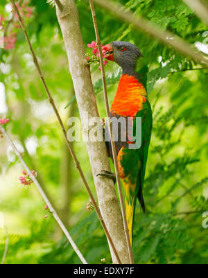 Brightly coloured rainbow lorikeet, Australian parrot in the wild feeding on cluster of pink flowers of native corkwood - Stock Photo