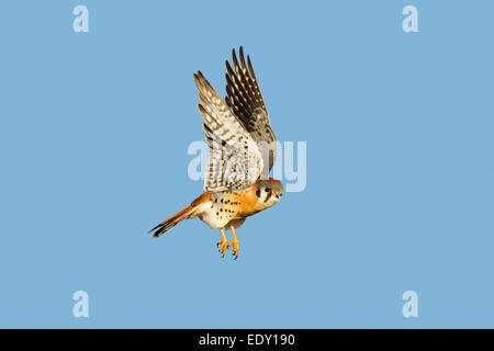 American Kestrel  Falco sparverius Mn Neal, Cochise County, Arizona, United States 9 January      Adult Male taking - Stock Photo