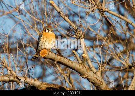 American Kestrel  Falco sparverius Mn Neal, Cochise County, Arizona, United States 9 January      Adult Male    - Stock Photo