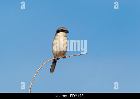 Loggerhead Shrike  Lanius ludovicianus Whitewater Draw, Cochise County, Arizona, United States  9 January      Adult - Stock Photo