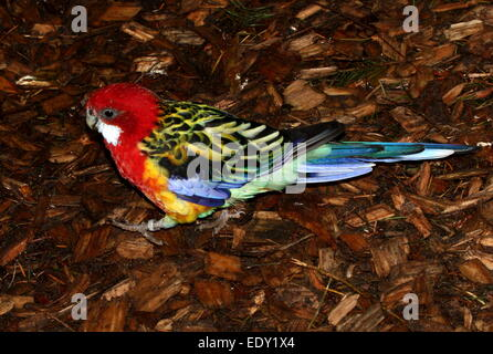 Very brightly coloured Australian Eastern rosella parrot (Platycercus eximius) - Stock Photo