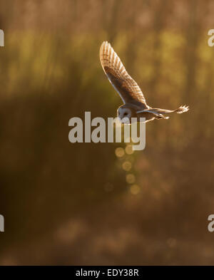 Wild Barn Owl Tyto Alba hunting over Gloucestershire grasslands - Stock Photo