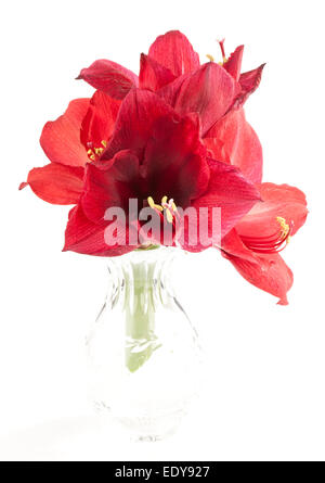 Four Amaryllis flowers in a glass vase - Stock Photo