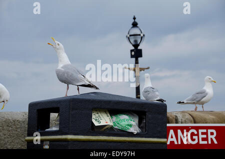 Low angle close-up of 4 adult herring gulls -1 standing on litter bin full of rubbish, 3 perching on sea wall - - Stock Photo