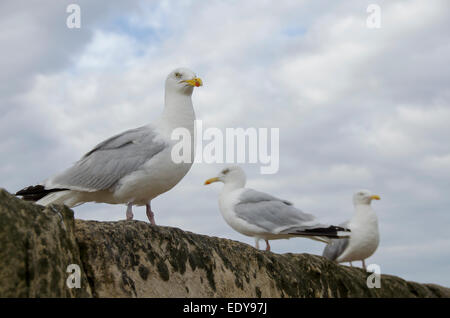 Low angle close-up of 3 adult herring gulls standing side by side on sea wall, seen against blue cloudy sky - Whitby, - Stock Photo