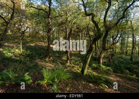 Dappled sunlight in early autumn falls on trees & carpet of leaves in scenic peaceful woodland - Middleton Woods, - Stock Photo