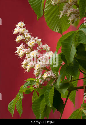 This is a close-up of blooming chestnut tree flowers. White flowers are situated against the red background. - Stock Photo