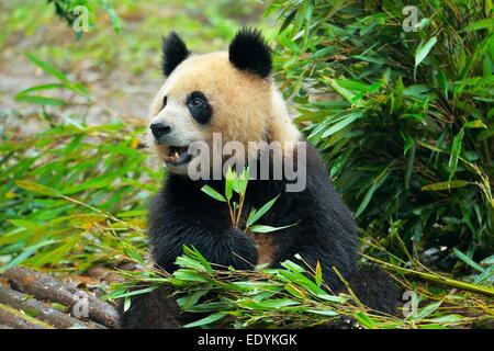 Giant Panda (Ailuropoda melanoleuca) feeding on bamboo leaves, captive, Chengdu Research Base of Giant Panda Breeding - Stock Photo