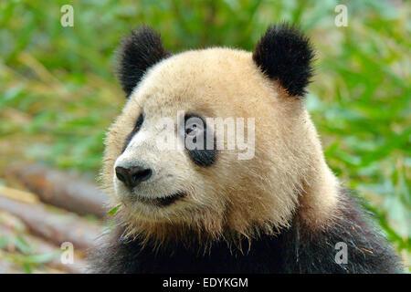 Giant Panda (Ailuropoda melanoleuca), captive, Chengdu Research Base of Giant Panda Breeding or Chengdu Panda Base, - Stock Photo