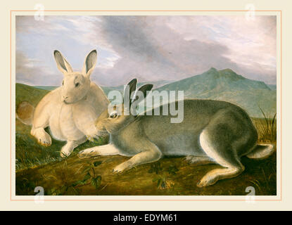 John James Audubon, Arctic Hare, American, 1785-1851, c. 1841, pen and black ink and graphite with watercolor and - Stock Photo