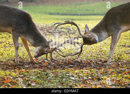 Fallow Deer (Dama dama), in a play-fight, captive, Lower Saxony, Germany - Stock Photo