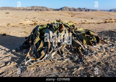 Splendid example of Welwitschia mirabilis is estimated to be more than 1500 years old,Erongo, Namibia, Amazing desert - Stock Photo