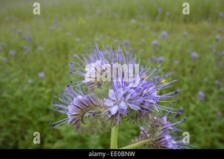 Bienenfreund, Phacelia tanacetifolia, Gründünger, Lacy Phacelia (Phacelia tanacetifolia), Fiddleneck, Phacelia, - Stock Photo
