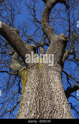 Baum, Eiche im Winter ohne Blätter, Tree, oak tree in winter devoid of leaves, English Oak, Quercus Robur, Bark, - Stock Photo