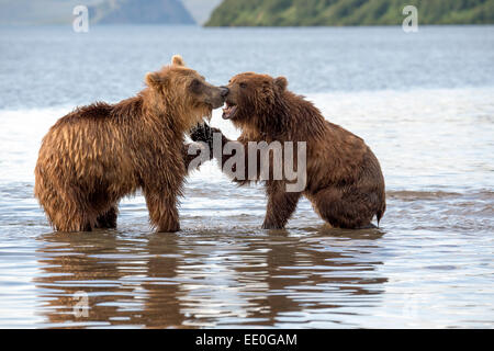 confrontation between two brown bears - Stock Photo