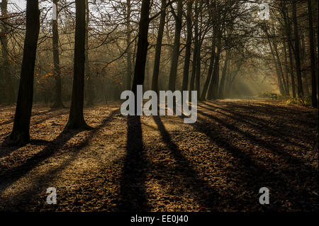 A woodland in early morning sunlight - Beech trees seen in silhouette in early morning autumnal sunlight. Thorndon - Stock Photo