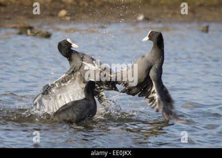 A pair of Coots fighting. - Stock Photo