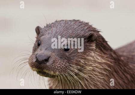 Otter-Lutra lutra - Stock Photo