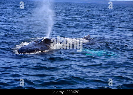 A Humpback Whale in the Bay of Fundy resting on the surface that is blowing or sounding ready to dive again. - Stock Photo