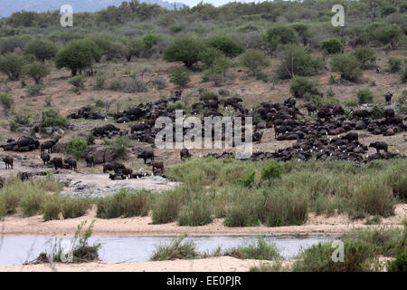African buffalo herd of several hundred animals congregating at river in Kruger National Park - Stock Photo