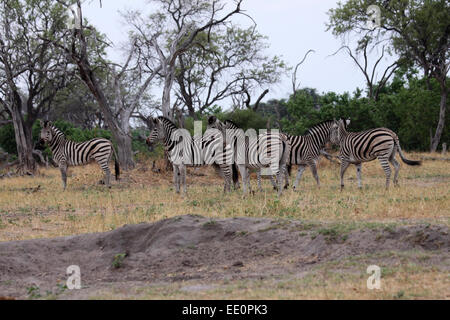 Plains zebra herd in Botswana looking anxiously at nearby lioness - Stock Photo