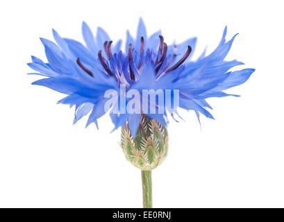 Blue cornflower isolated on white background - Stock Photo