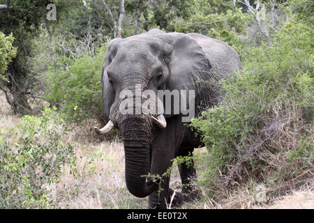 African elephant tusker emerging from the bushveld in Kruger National Park - Stock Photo