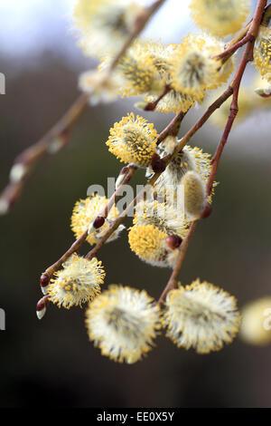 Nahaufnahme von bluehenden Weidenkaetzchen, Salweide, Salix caprea - Stock Photo