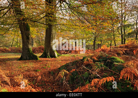 Start of Autumn, Bolderwood, New Forest, National Park, Hampshire - Stock Photo