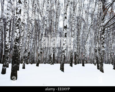 the edge of snowy birch woods in winter - Stock Photo